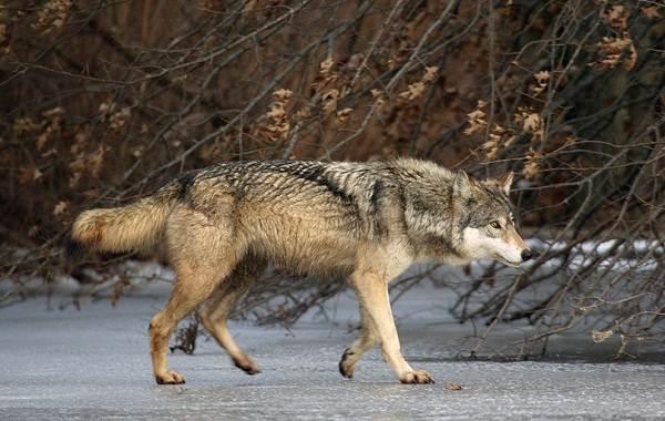 Волк-животное-Описание-особенности-образ-жизни-и-среда-обитания-волка-11