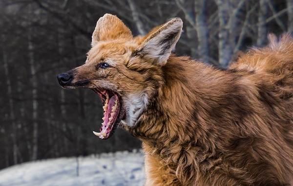 Волк-животное-Описание-особенности-образ-жизни-и-среда-обитания-волка-13
