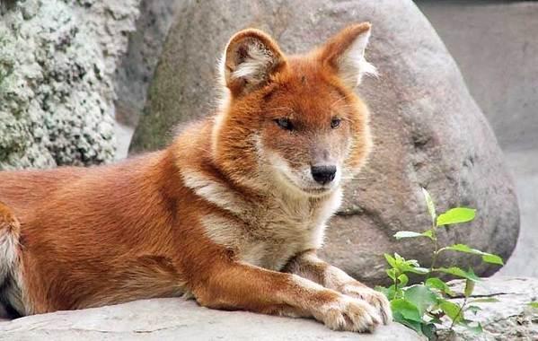 Волк-животное-Описание-особенности-образ-жизни-и-среда-обитания-волка-14