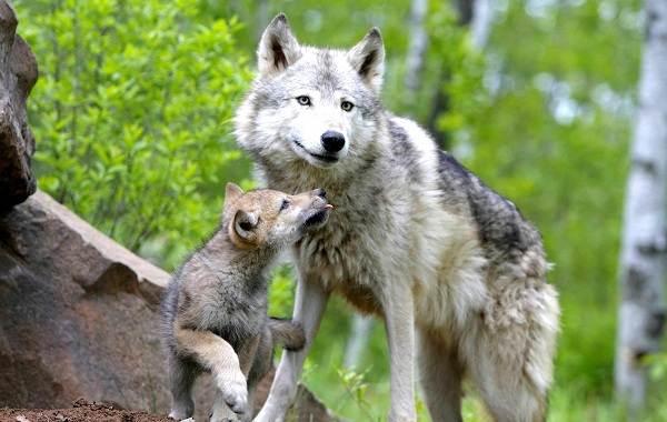 Волк-животное-Описание-особенности-образ-жизни-и-среда-обитания-волка-15