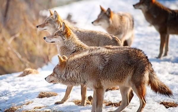 Волк-животное-Описание-особенности-образ-жизни-и-среда-обитания-волка-16