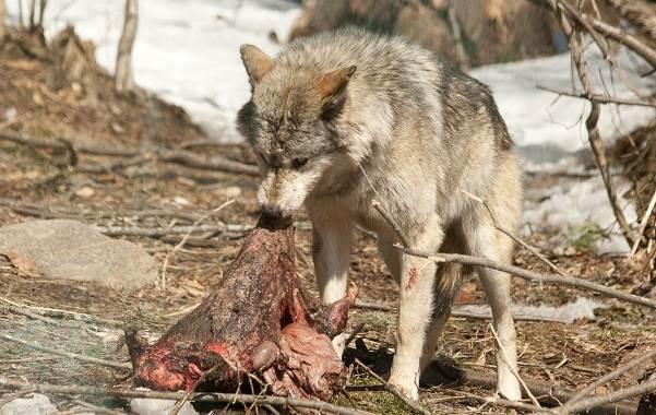 Волк-животное-Описание-особенности-образ-жизни-и-среда-обитания-волка-19