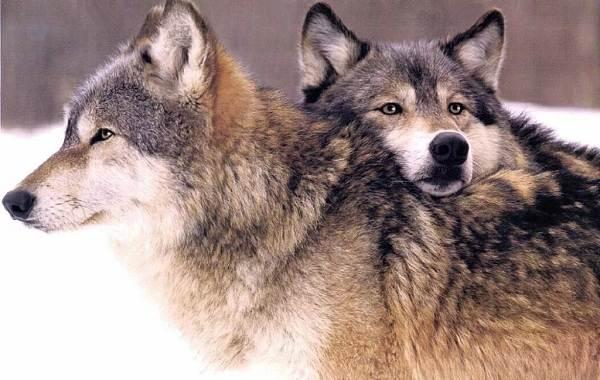 Волк-животное-Описание-особенности-образ-жизни-и-среда-обитания-волка-21