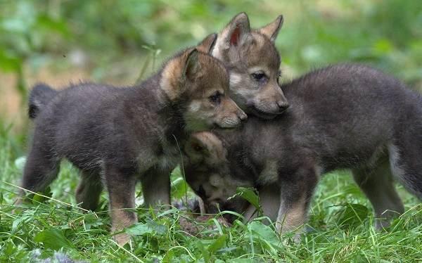 Волк-животное-Описание-особенности-образ-жизни-и-среда-обитания-волка-22