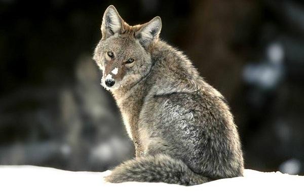 Волк-животное-Описание-особенности-образ-жизни-и-среда-обитания-волка-23