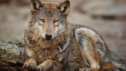Волк животное. Описание, особенности, образ жизни и среда обитания волка