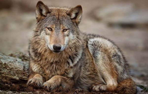 Волк-животное-Описание-особенности-образ-жизни-и-среда-обитания-волка-4