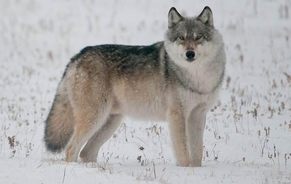 Волк-животное-Описание-особенности-образ-жизни-и-среда-обитания-волка-5