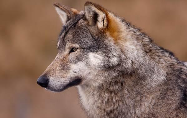 Волк-животное-Описание-особенности-образ-жизни-и-среда-обитания-волка-6