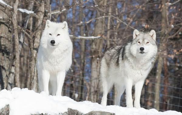 Волк-животное-Описание-особенности-образ-жизни-и-среда-обитания-волка-7