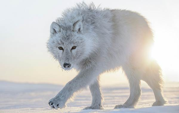 Волк-животное-Описание-особенности-образ-жизни-и-среда-обитания-волка-8