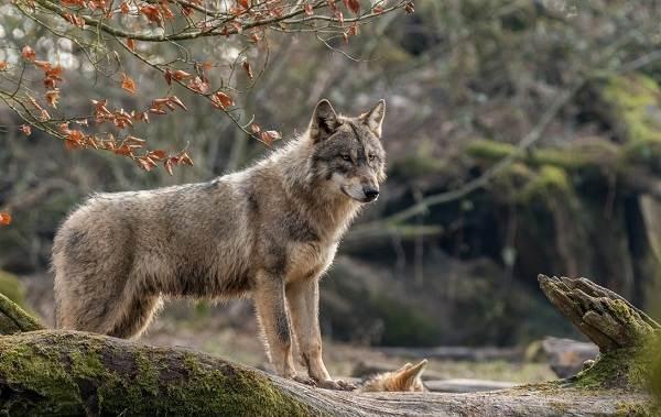 Волк-животное-Описание-особенности-образ-жизни-и-среда-обитания-волка-9