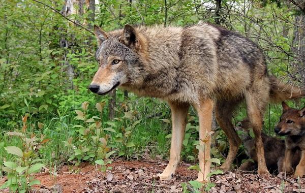 Волк-животное-Описание-особенности-образ-жизни-и-среда-обитания-волка