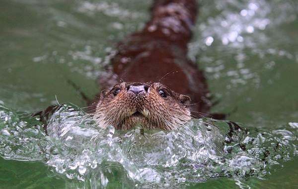 Выдра-животное-Описание-особенности-виды-образ-жизни-и-среда-обитания-выдры-13