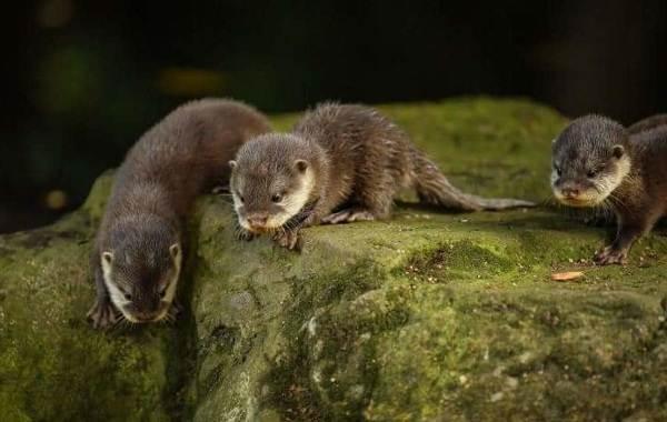 Выдра-животное-Описание-особенности-виды-образ-жизни-и-среда-обитания-выдры-14