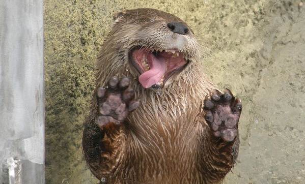 Выдра-животное-Описание-особенности-виды-образ-жизни-и-среда-обитания-выдры-16