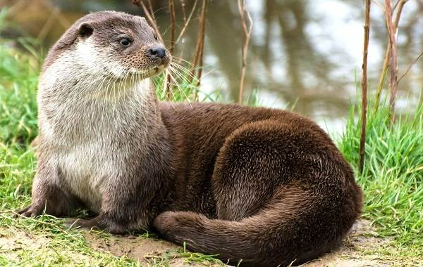 Выдра-животное-Описание-особенности-виды-образ-жизни-и-среда-обитания-выдры-2