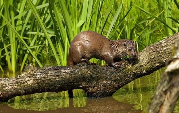 Выдра-животное-Описание-особенности-виды-образ-жизни-и-среда-обитания-выдры-22