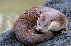 Выдра животное. Описание, особенности, виды, образ жизни и среда обитания выдры