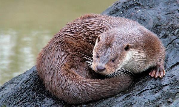 Выдра-животное-Описание-особенности-виды-образ-жизни-и-среда-обитания-выдры-4
