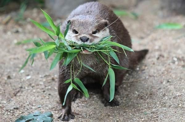Выдра-животное-Описание-особенности-виды-образ-жизни-и-среда-обитания-выдры-5