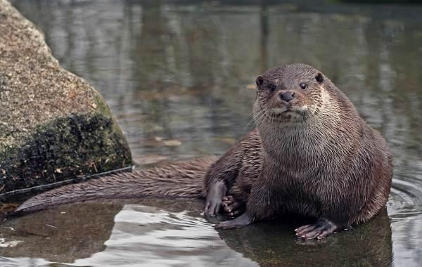 Выдра-животное-Описание-особенности-виды-образ-жизни-и-среда-обитания-выдры-6