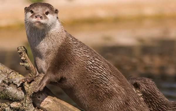 Выдра-животное-Описание-особенности-виды-образ-жизни-и-среда-обитания-выдры-7