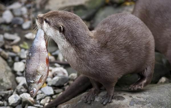Выдра-животное-Описание-особенности-виды-образ-жизни-и-среда-обитания-выдры-8