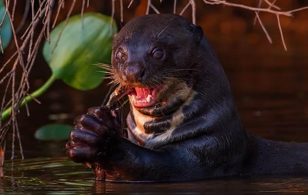 Выдра-животное-Описание-особенности-виды-образ-жизни-и-среда-обитания-выдры-9