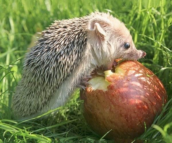 Ёж-животное-Описание-особенности-виды-образ-жизни-и-среда-обитания-ежа-12