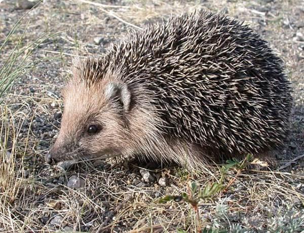 Ёж-животное-Описание-особенности-виды-образ-жизни-и-среда-обитания-ежа-2