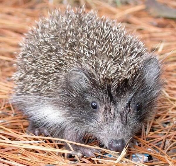 Ёж-животное-Описание-особенности-виды-образ-жизни-и-среда-обитания-ежа-3