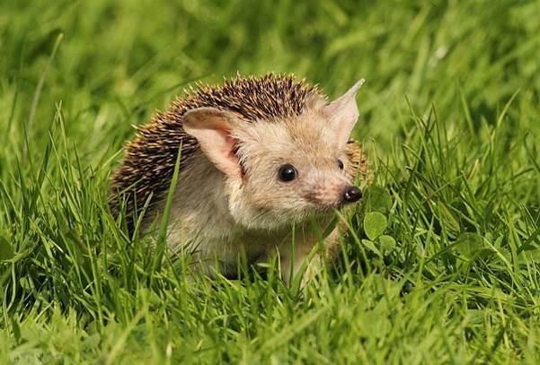 Ёж-животное-Описание-особенности-виды-образ-жизни-и-среда-обитания-ежа-4