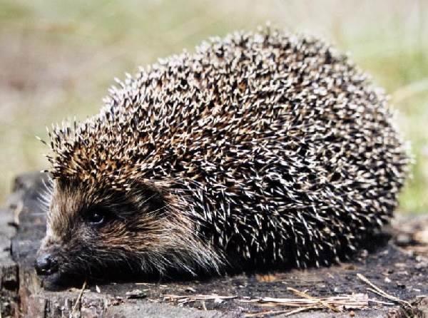 Ёж-животное-Описание-особенности-виды-образ-жизни-и-среда-обитания-ежа-5
