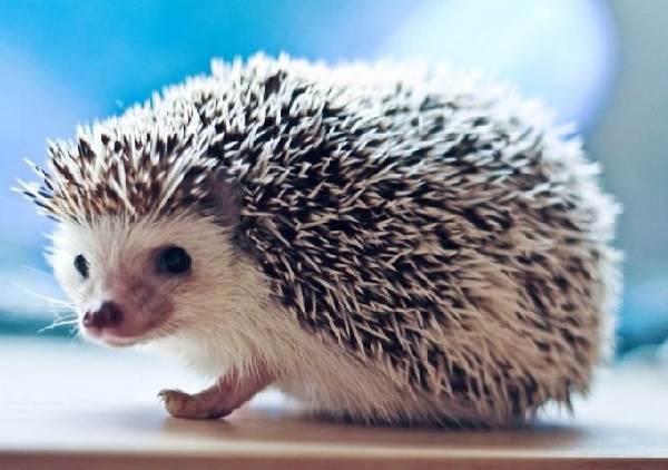 Ёж-животное-Описание-особенности-виды-образ-жизни-и-среда-обитания-ежа-6