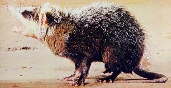 Ёж-животное-Описание-особенности-виды-образ-жизни-и-среда-обитания-ежа-7