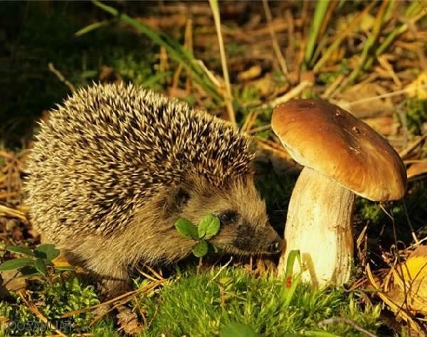 Ёж-животное-Описание-особенности-виды-образ-жизни-и-среда-обитания-ежа-8