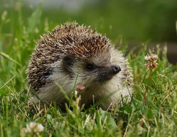 Ёж-животное-Описание-особенности-виды-образ-жизни-и-среда-обитания-ежа-9