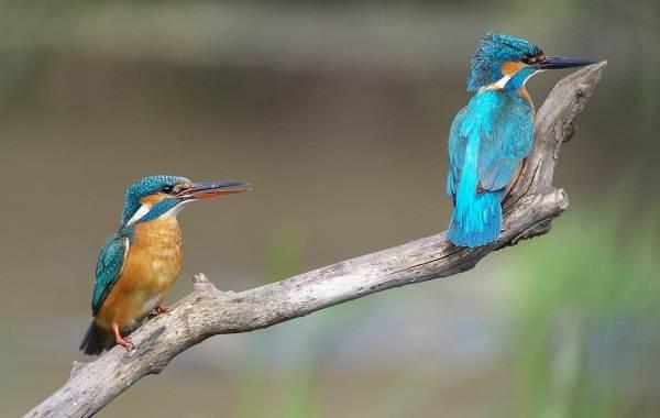 Зимородок-птица-Описание-особенности-образ-жизни-и-среда-обитания-зимородка-11