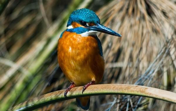 Зимородок-птица-Описание-особенности-образ-жизни-и-среда-обитания-зимородка-12
