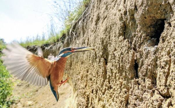 Зимородок-птица-Описание-особенности-образ-жизни-и-среда-обитания-зимородка-13