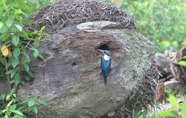 Зимородок-птица-Описание-особенности-образ-жизни-и-среда-обитания-зимородка-15
