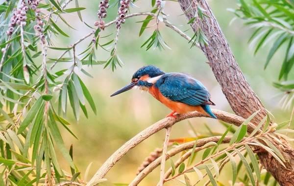 Зимородок-птица-Описание-особенности-образ-жизни-и-среда-обитания-зимородка-16
