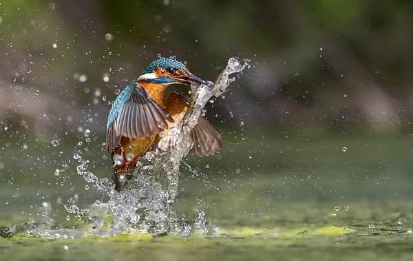 Зимородок-птица-Описание-особенности-образ-жизни-и-среда-обитания-зимородка-17