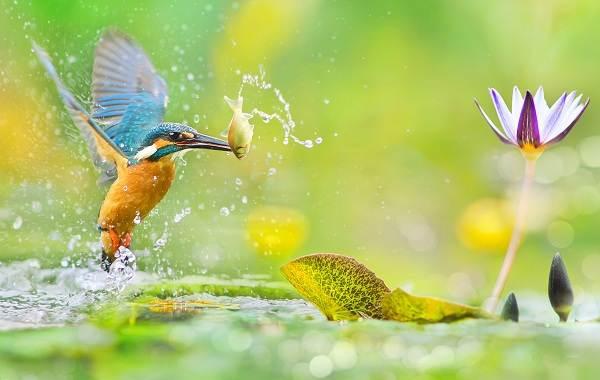Зимородок-птица-Описание-особенности-образ-жизни-и-среда-обитания-зимородка-18
