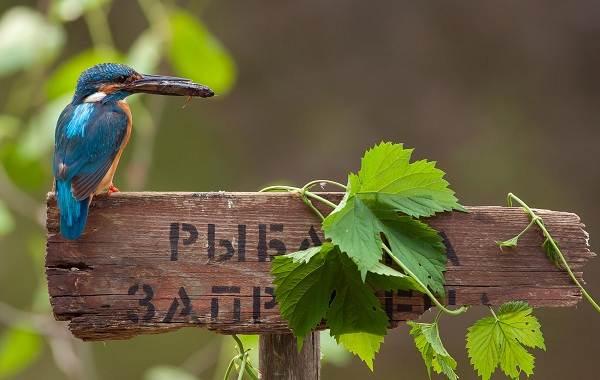 Зимородок-птица-Описание-особенности-образ-жизни-и-среда-обитания-зимородка-19