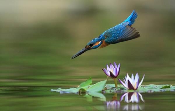 Зимородок-птица-Описание-особенности-образ-жизни-и-среда-обитания-зимородка-4