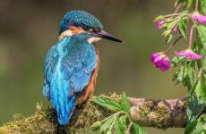 Зимородок птица. Описание, особенности, образ жизни и среда обитания зимородка