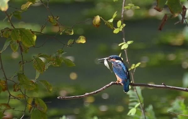 Зимородок-птица-Описание-особенности-образ-жизни-и-среда-обитания-зимородка-6