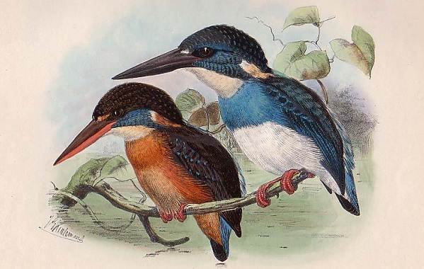 Зимородок-птица-Описание-особенности-образ-жизни-и-среда-обитания-зимородка-8